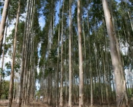 5 year old Eucalyptus Trees 2