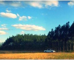 Eucalpyptus Stand 2