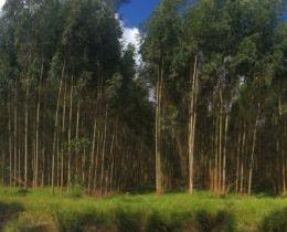 Eucalyptus Stand 3