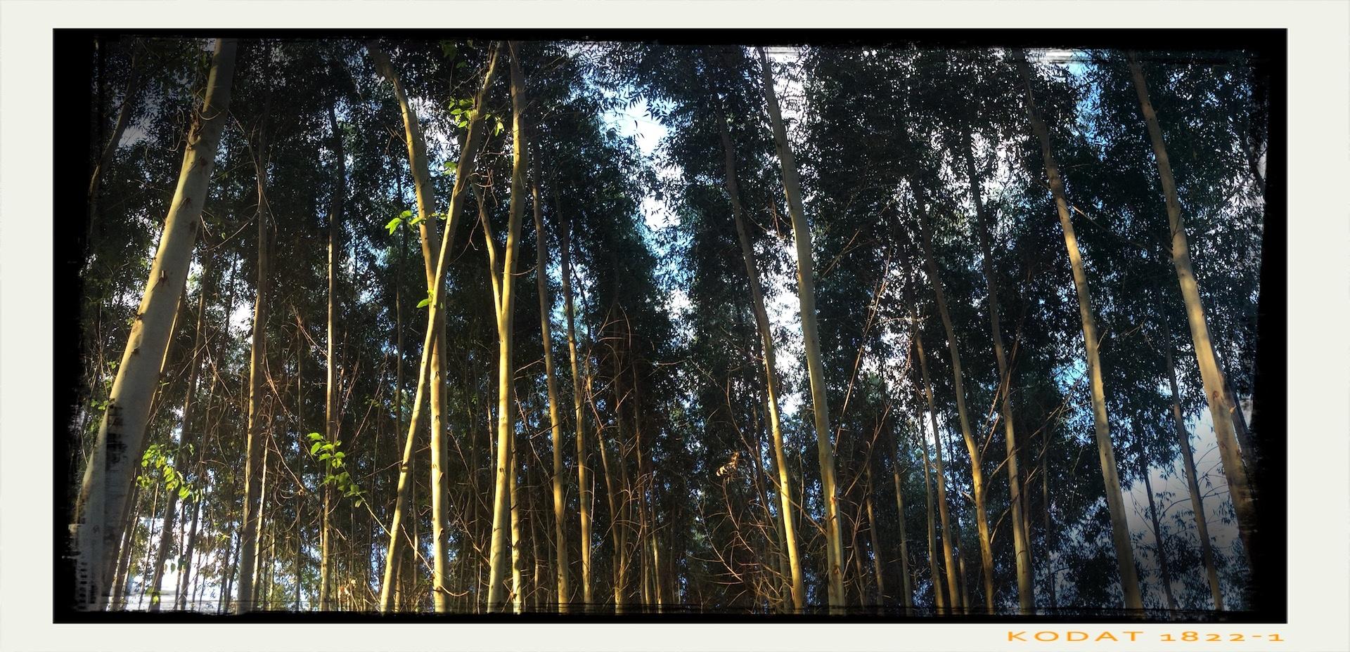 Eucalyptus Stand