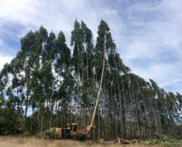 Harvesting Eucalyptus