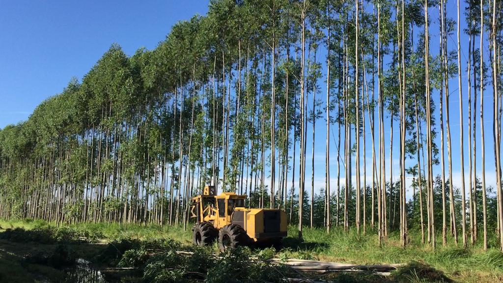 Harvesting Eucalyptus 5