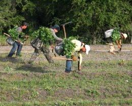Planting Eucalyptus 2