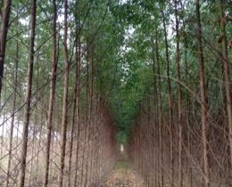 Row of Eucalyptus Trees