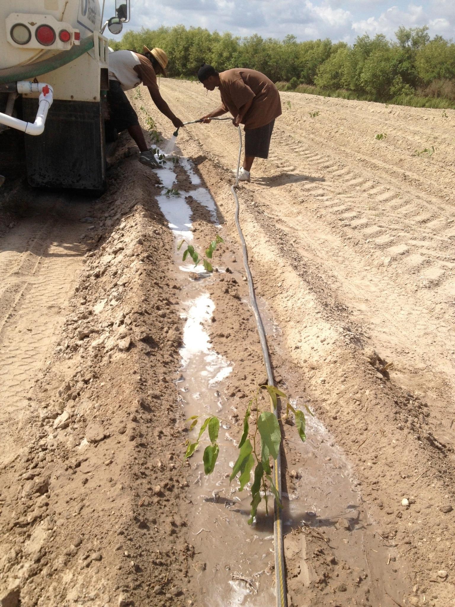 Watering baby Eucalyptus Trees